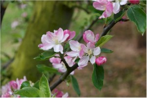 Blossomtime 2015 Programme Announced