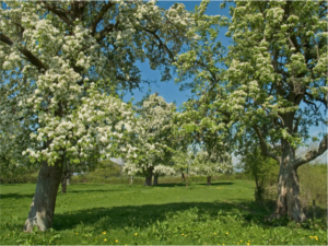 Gregg's Pit orchard in blossom